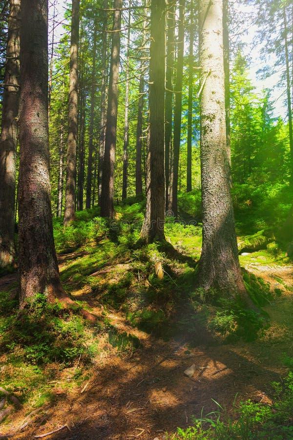 Skogbergslingan passerar till och med en prydlig skog som tvinnas med trädet, rotar Beteckning av en turist- rutt h?rligt arkivbild