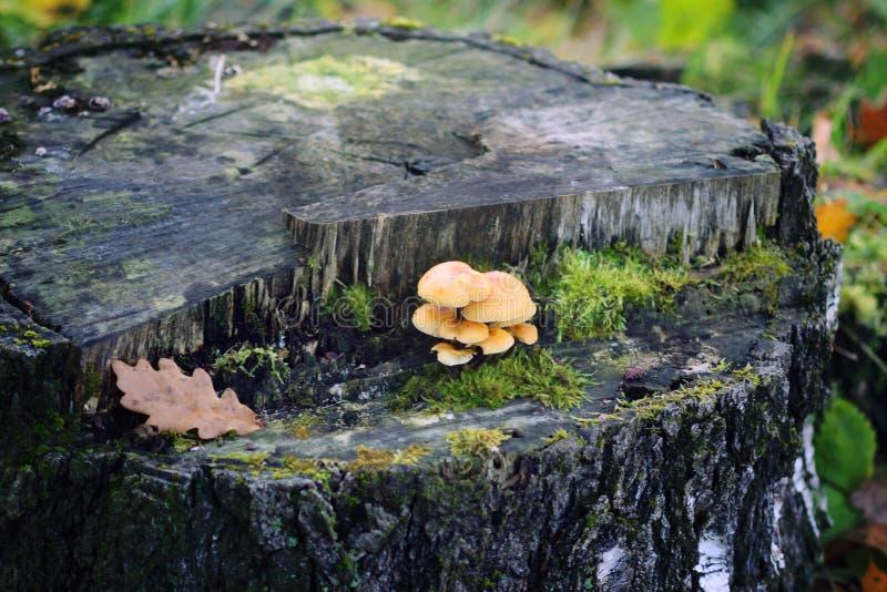 Skogchampinjoner på trädstubbe med mossa Honungagaricmushrrom arkivfoto