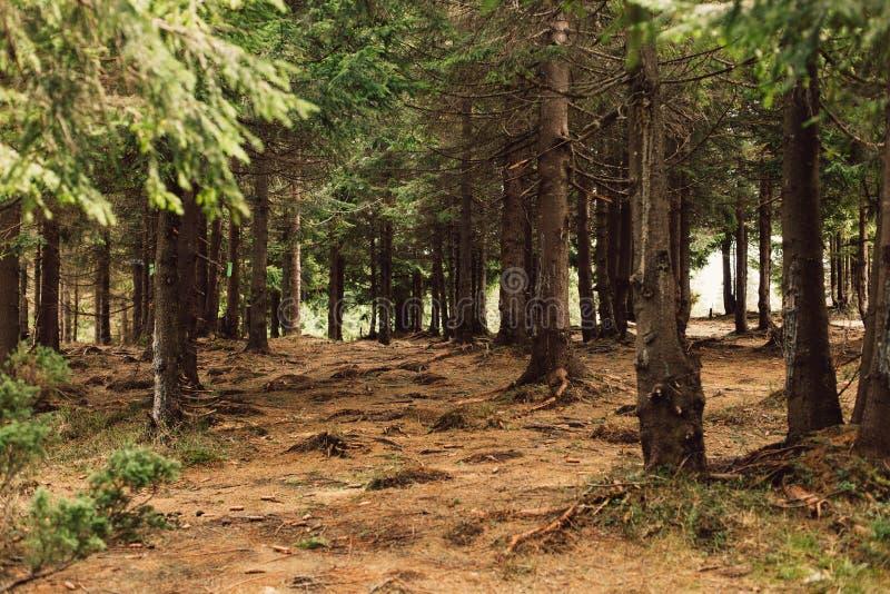 Skogen av sörjer i bergen arkivfoto