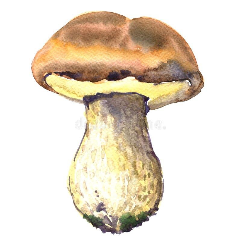 Skogen den ätliga stensoppet plocka svamp, porcinichampinjonen, vattenfärgillustrationen royaltyfri illustrationer