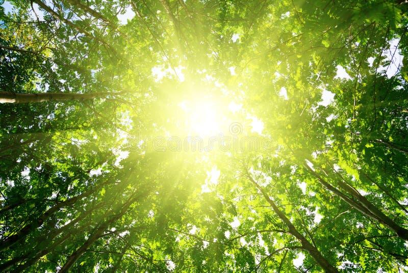 skogen rays sunen arkivbild