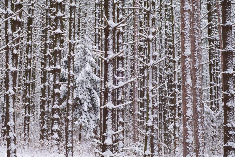 skogen sörjer röd white fotografering för bildbyråer