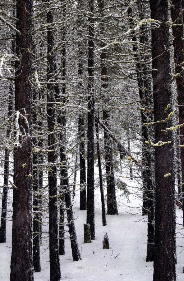 skogen sörjer snow royaltyfri fotografi