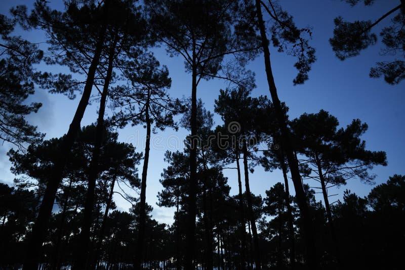 Skogen sörjer trädhimmel royaltyfri fotografi