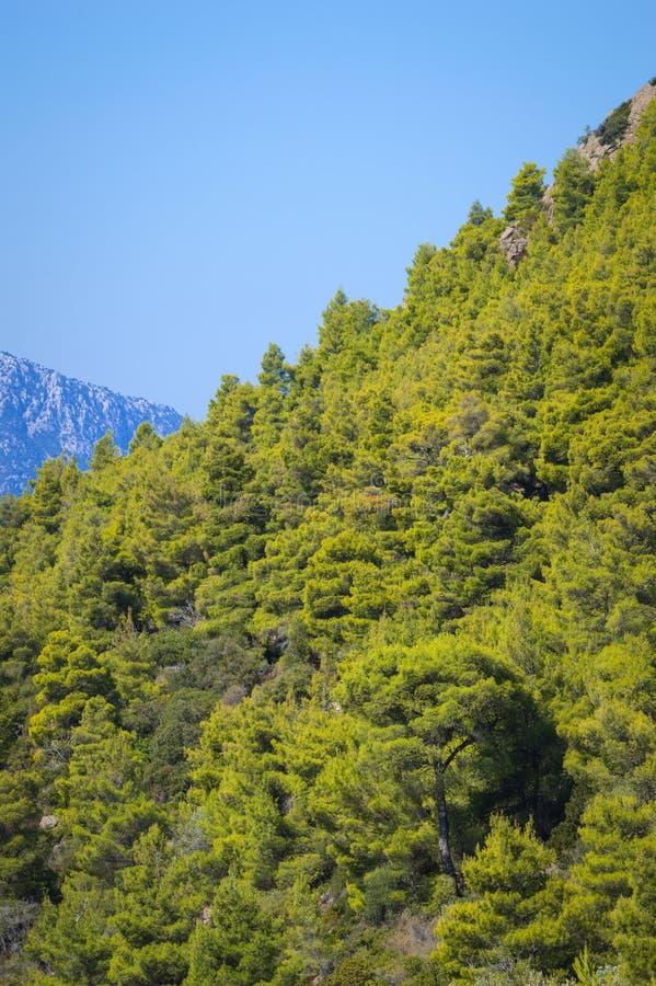 skogen sörjer treen royaltyfri fotografi