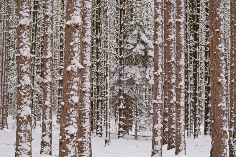skogen sörjer vinter royaltyfri bild
