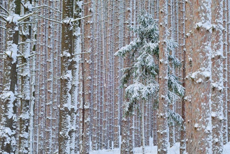 skogen sörjer vinter arkivbild