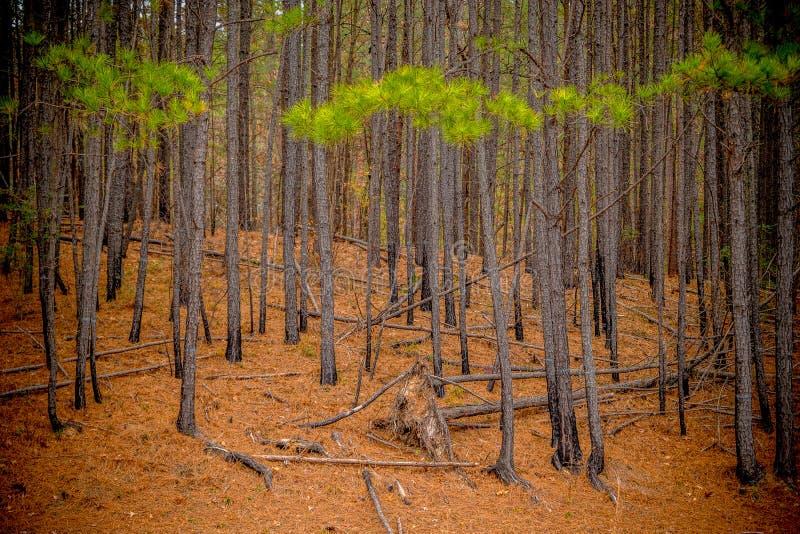 skogen s?rjer trees fotografering för bildbyråer