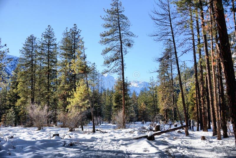 skogen snowed royaltyfria bilder