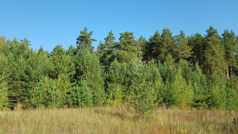 Skoggräsplan under den blåa himlen royaltyfri fotografi