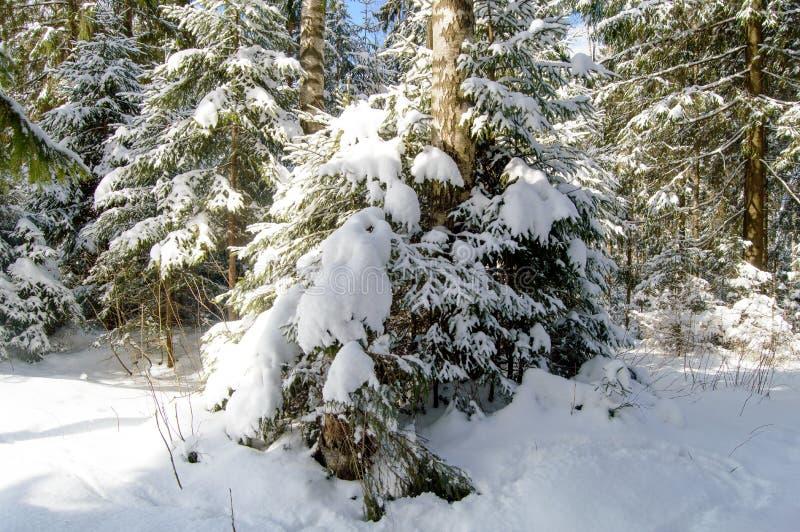Skoggranträdet täckte med insnöat strålarna av solen arkivbild