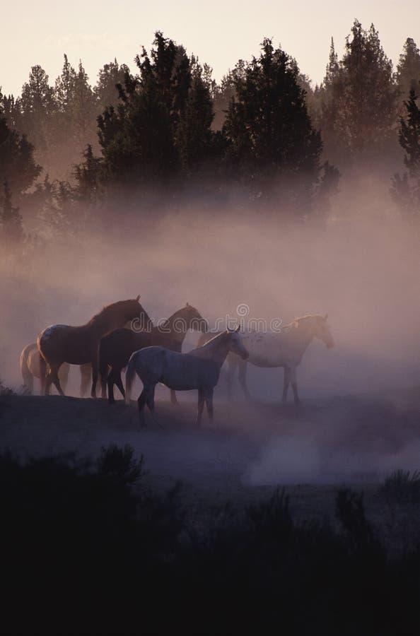 skoghästar royaltyfria bilder