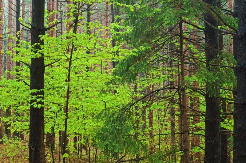 skoglönn sörjer fjädern arkivfoto
