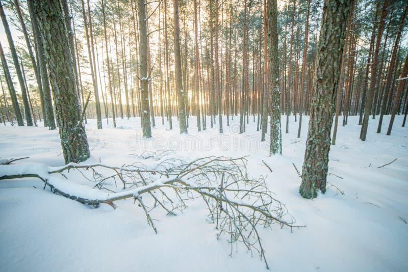 Skoglandskap i vintergryning arkivfoto