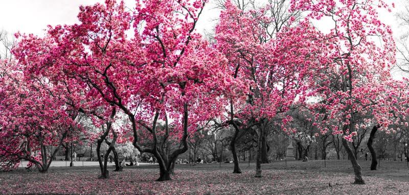 Skoglandskap med rosa träd i ett svartvita New York City fotografering för bildbyråer