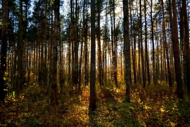 Skoglandskap med solnedgångljus till och med träd arkivfoton