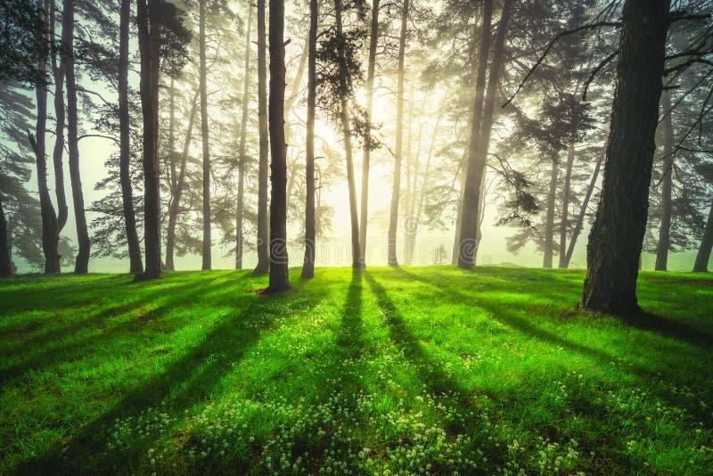 Skoglandskap och morgondimma i vår arkivfoton