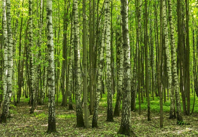Skoglandskap på en solig vårsommardag med vid liv träd för gräs och gräsplansidor på filialer på en botanisk utomhus- bild för pa arkivbilder