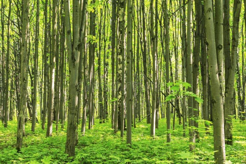 Skoglandskap på en solig vårsommardag med vid liv träd för gräs och gräsplansidor på filialer på en botanisk utomhus- bild för pa arkivfoto