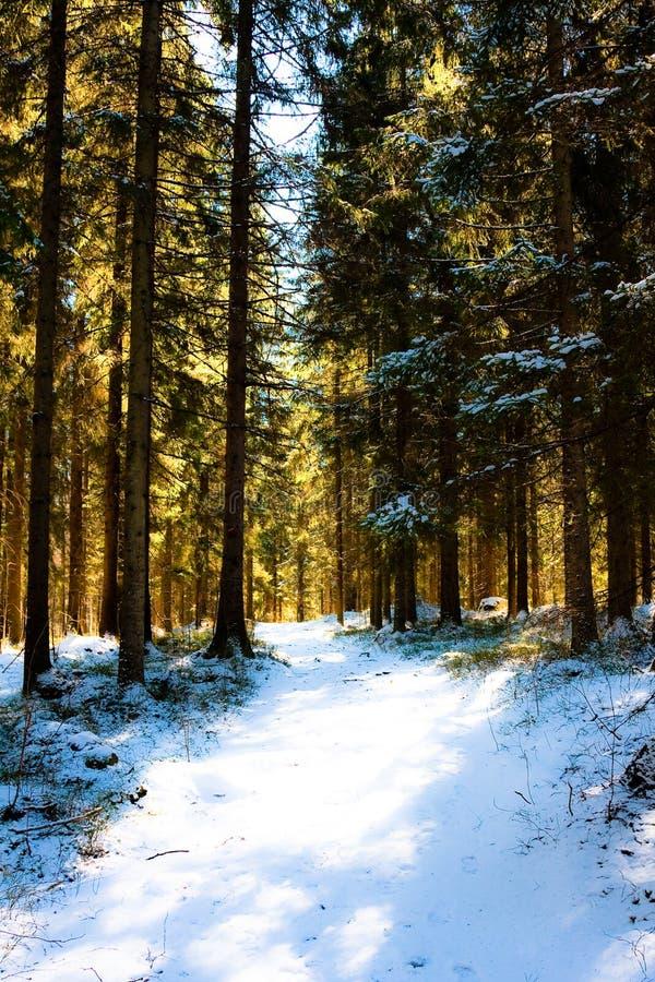 skogmorgon fotografering för bildbyråer