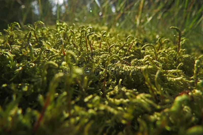 Skogmossaslut upp makrofotoet arkivfoto