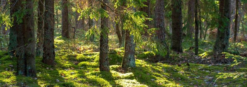 Skognaturbakgrund gr?n sommar f?r skog royaltyfria foton