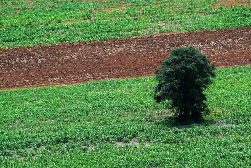 Skogområdesinvasion, det enda trädet som återstår, förstörelse av naturresurser, global uppvärmning, lantligt jordbruk, tapiokala royaltyfria foton