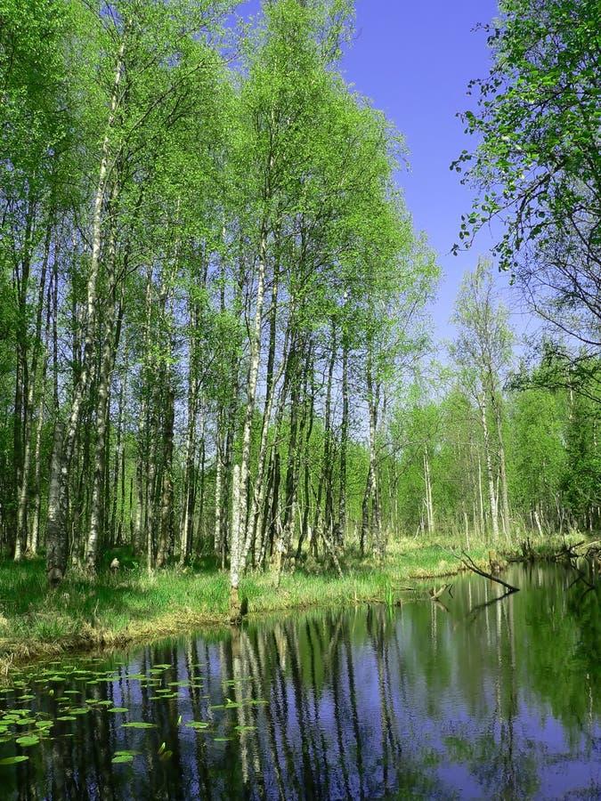 skogoskuld arkivbild