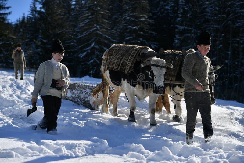 Skogsarbetare som vägleder hans två oxar för att dra trädet royaltyfria foton