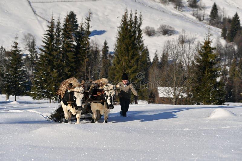 Skogsarbetare som vägleder hans två oxar för att dra trädet arkivfoto