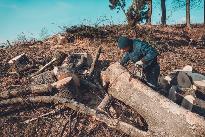 Skogsarbetaren klippte trädet av askaen från chainsawen till trät och förbereder sig för vinterperioden arkivbild