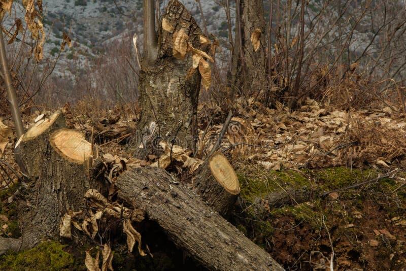 Skogsavverkning - ungt trädsnitt i trät för timmer arkivbild