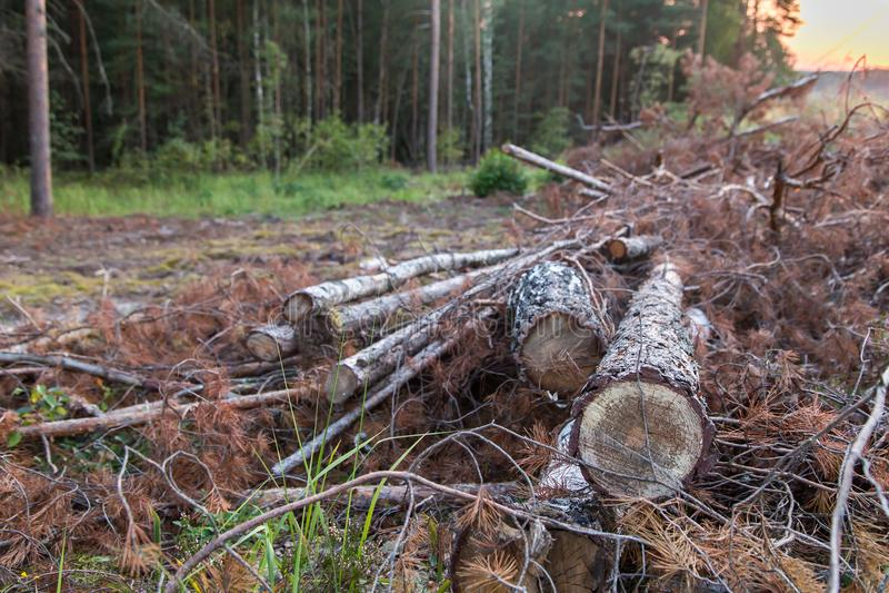 Skogsavverkningskog, timmer klipp ner trees royaltyfri foto