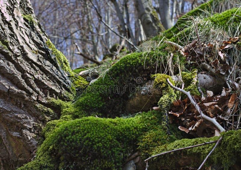 Skogsbevuxen backe i vår med europeiska bokträd och grön mossa royaltyfri foto