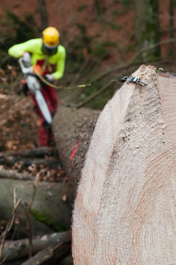 Skogsbrukmåttbandet hakade till den prydliga stammen med den täta årliga cirklar och skogsbrukarbetaren i bakgrund arkivfoton