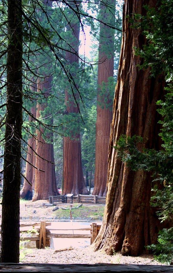 skogsequoia royaltyfri bild