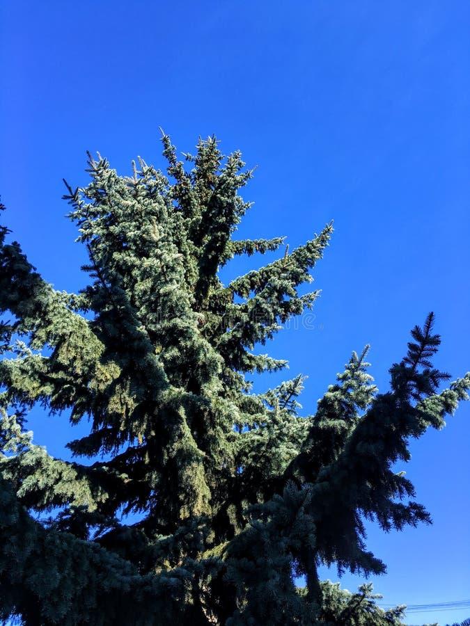 Skogskönhet arkivfoto