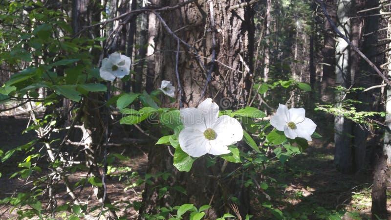 Skogskornell blommar att blomma arkivbild