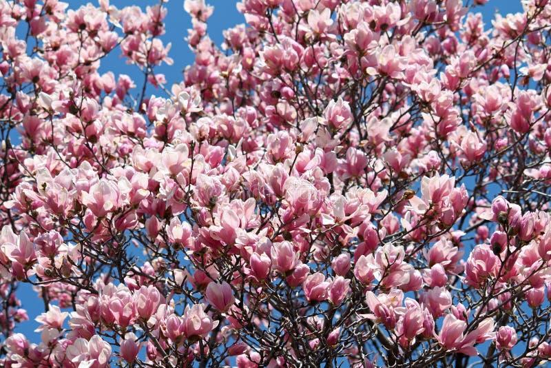 Skogskornell Blossums 2 royaltyfria foton