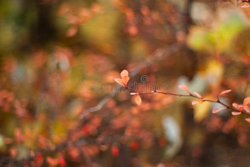 Skogskornellb?r p? filialerna, p? en kul?r bakgrund Selektivt fokusera grunt djupf?lt tonad bild fotografering för bildbyråer
