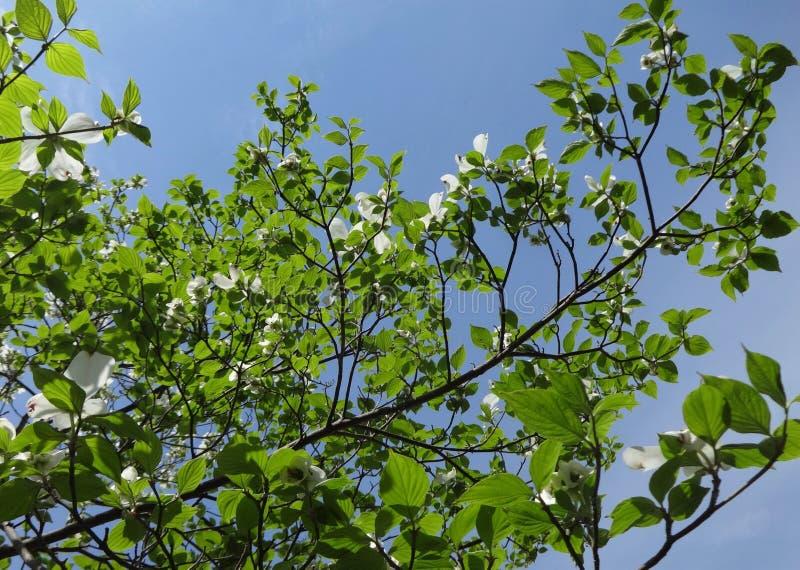 Skogskornellfilialer med vårhimmel fotografering för bildbyråer