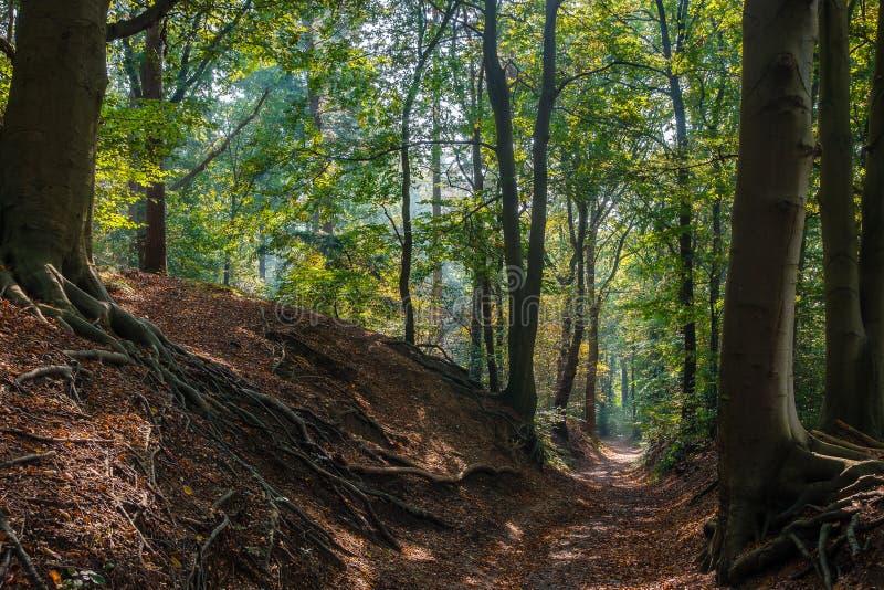 Skogslinga i holländska trän under nedgång royaltyfri bild