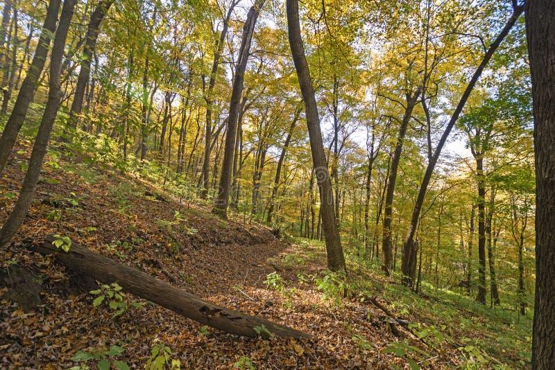 Skogsmarkslinga i nedgången royaltyfria bilder