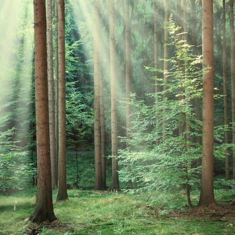 Skogträd med den gula solen strålar att skina igenom royaltyfria bilder