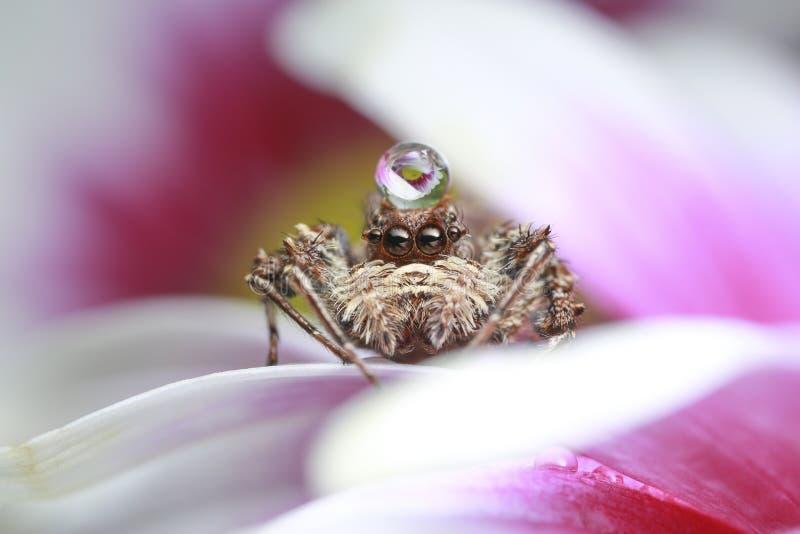 Skokowa pająka i wody kropla na menchiach kwitnie w naturze zdjęcie royalty free