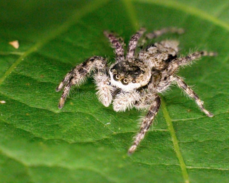 Skokowego pająka krańcowy zbliżenie na zielonym liściu zdjęcia stock