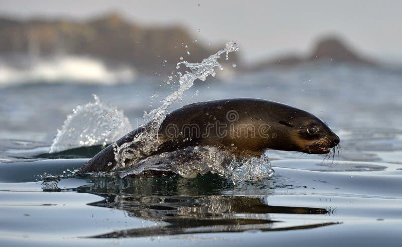 Skokowego przylądka futerkowa foka (Arctocephalus pusillus pusillus) fotografia royalty free