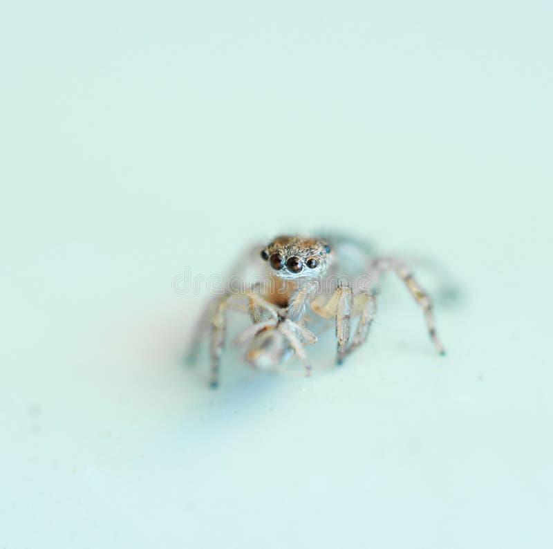 Skokowy domowy pająk na minimalistycznym tle fotografia royalty free