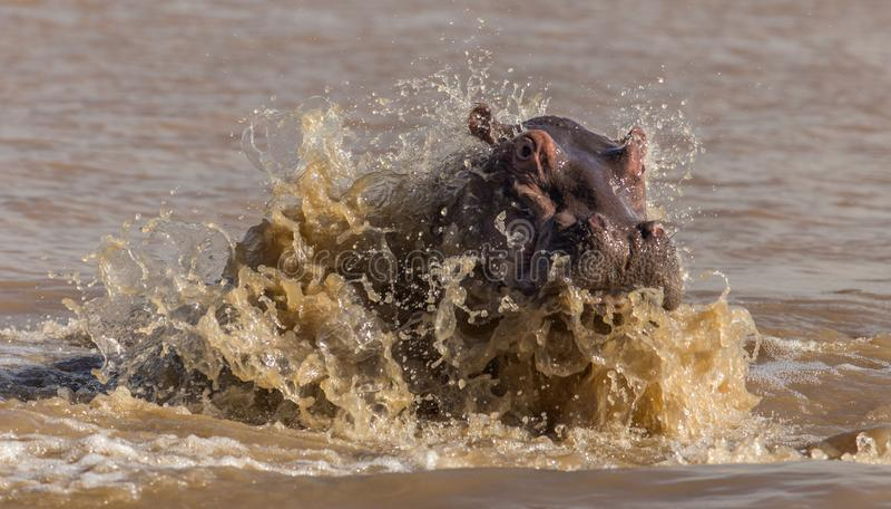 Skokowy hipopotam obrazy stock