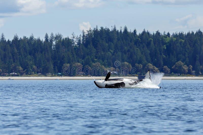 Skokowy orki lub zabójcy wieloryb obrazy royalty free